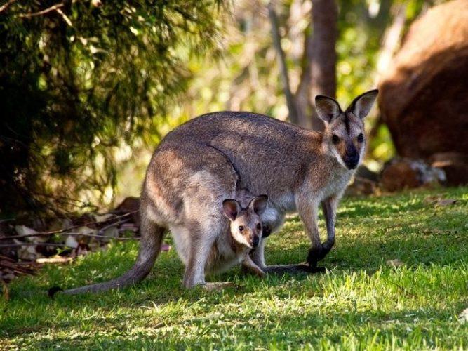Bebé canguro se asoma por primera vez al mundo