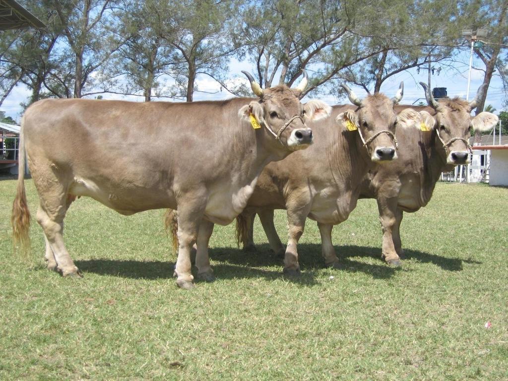 Vacas entran a tienda y arrasan con los alimentos(VIDEO)