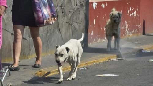 Continúa aumentando el número de perros callejeros en Toluca. Noticias en tiempo real