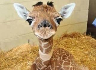 """""""JiraFIFIta"""" nombre de la jirafa bebé que nació en el zoológico de Chapultepec"""