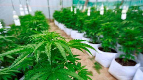 Aseguran invernadero de mariguana en el Edomex. Noticias en tiempo real