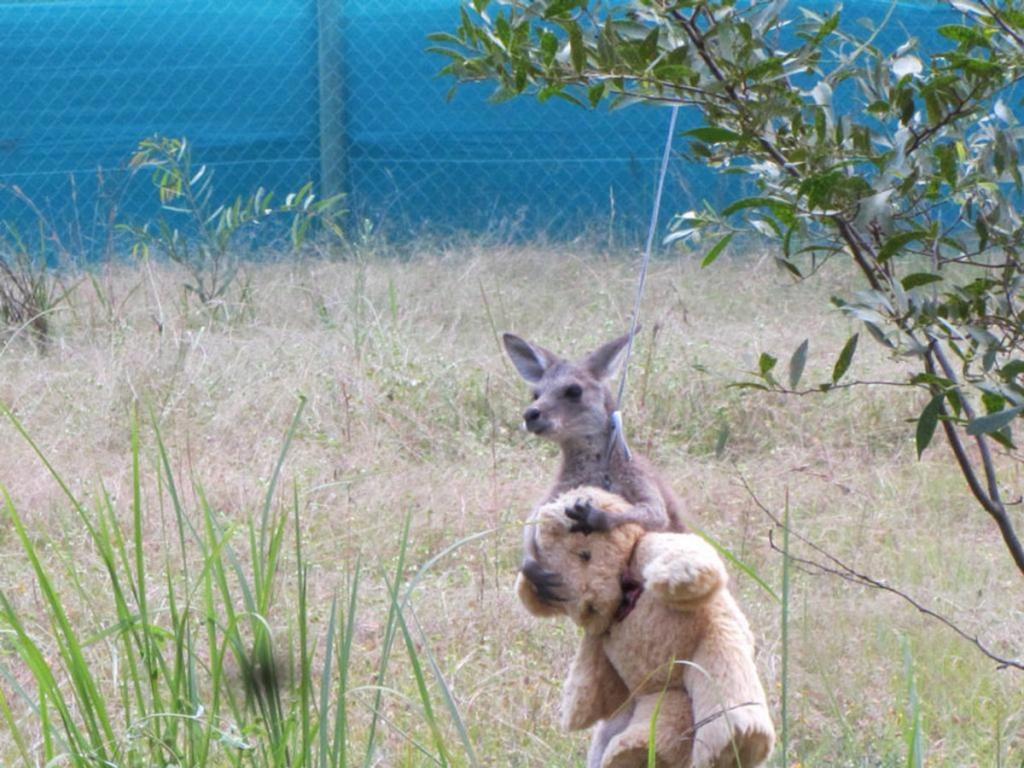 Canguro bebe perdió a su familia pero encontró consuelo en osito de peluche