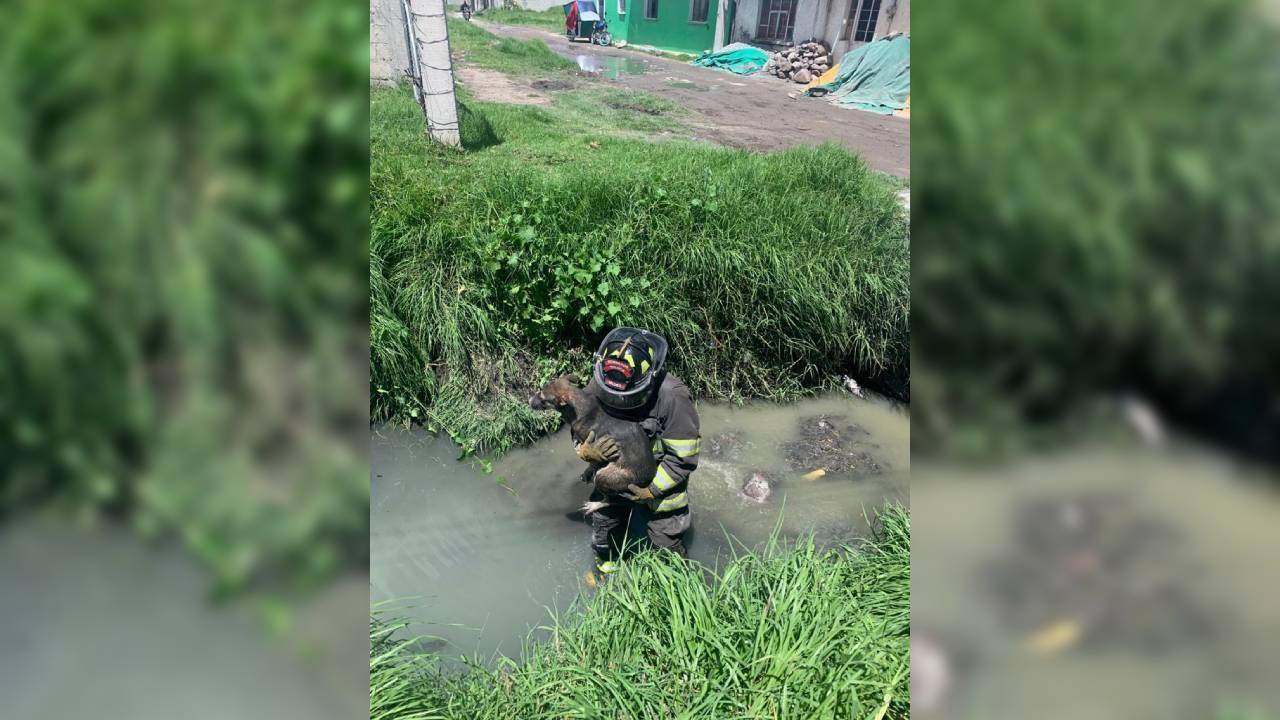 Rescatan Bomberos de Toluca canino que cayó en zanja