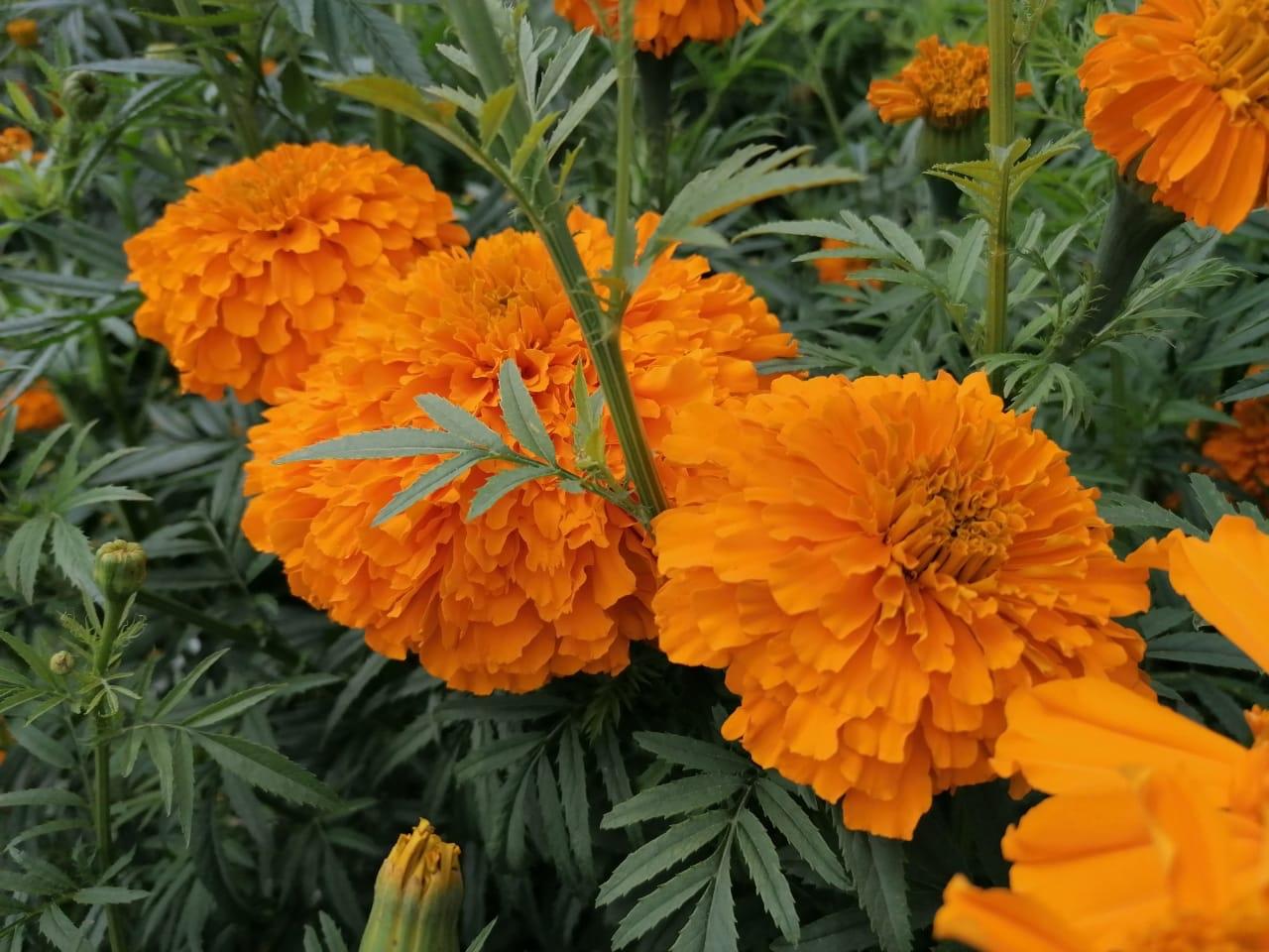 Floricultores se preparan para Día de Muertos pero con incertidumbre por el covid19