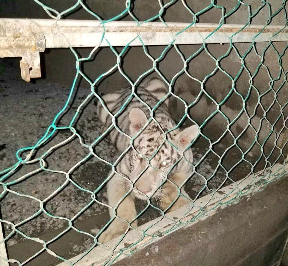 46 autos de lujo y dos tigres de bengala fueron asegurados en Tamaulipas