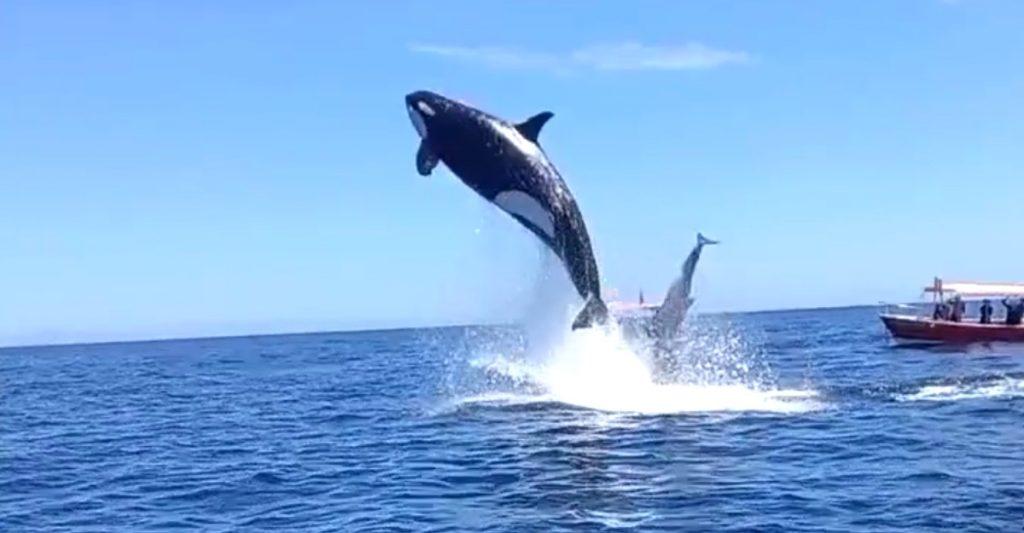 ¡Tremendo espectáculo! Turistas son testigos de la cacería de una orca y lo captan en video