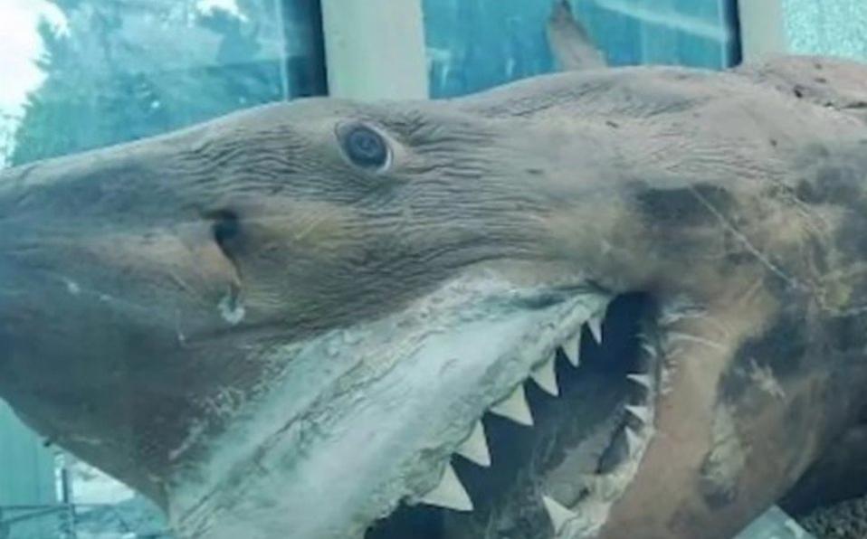 ¡Increíble! Tiburón blanco  de cinco metros es hallado en Australia en parque acuático abandonado