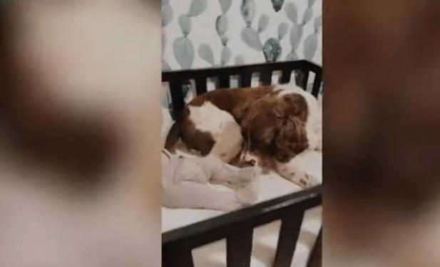 VIDEO: Perrito reacciona de esta manera al escuchar a un bebé llorar