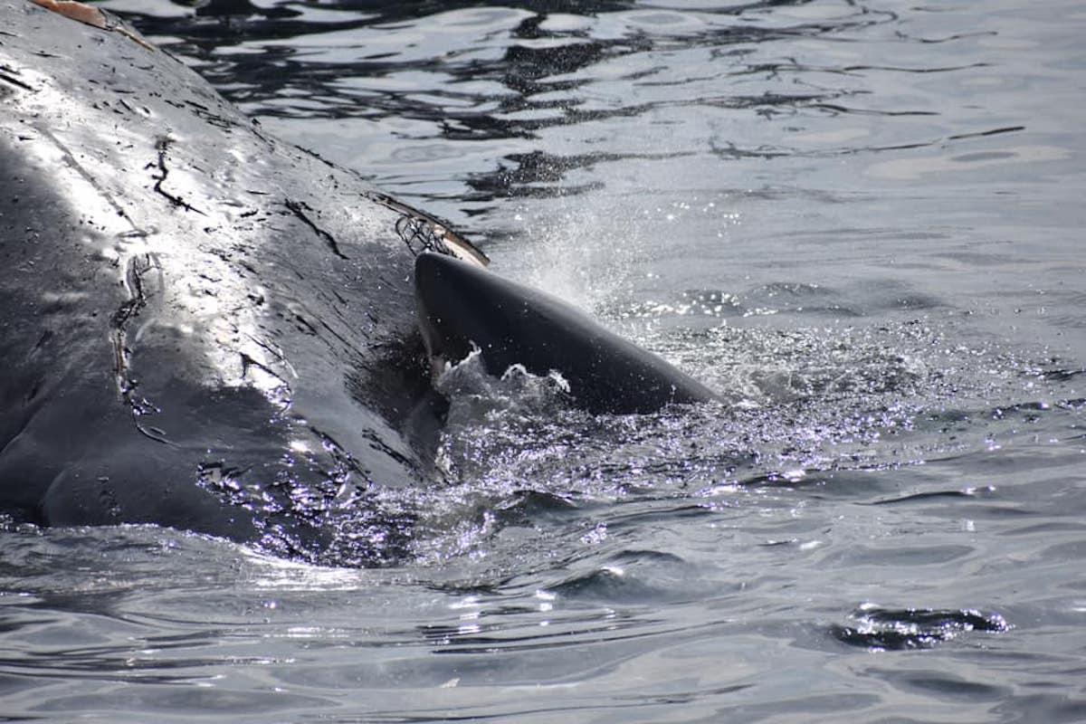 Captan en video como dos tiburones blancos se comen una ballena jorobada