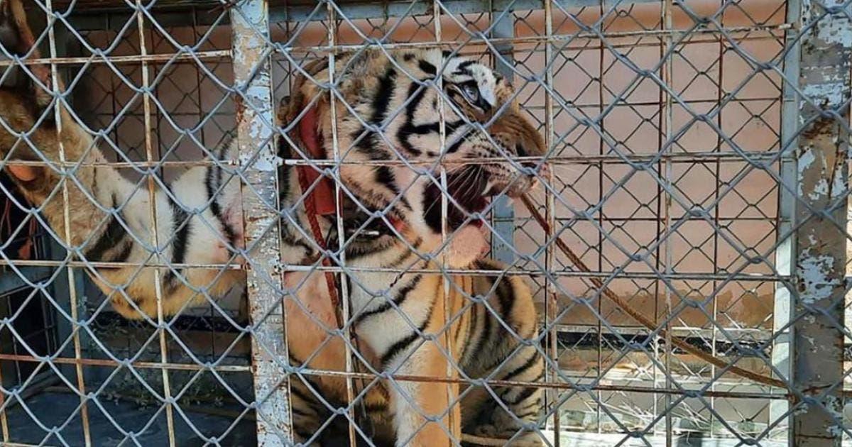 Fiscalía de Sonora halla tigre de Bengala en escondite de grupo criminal