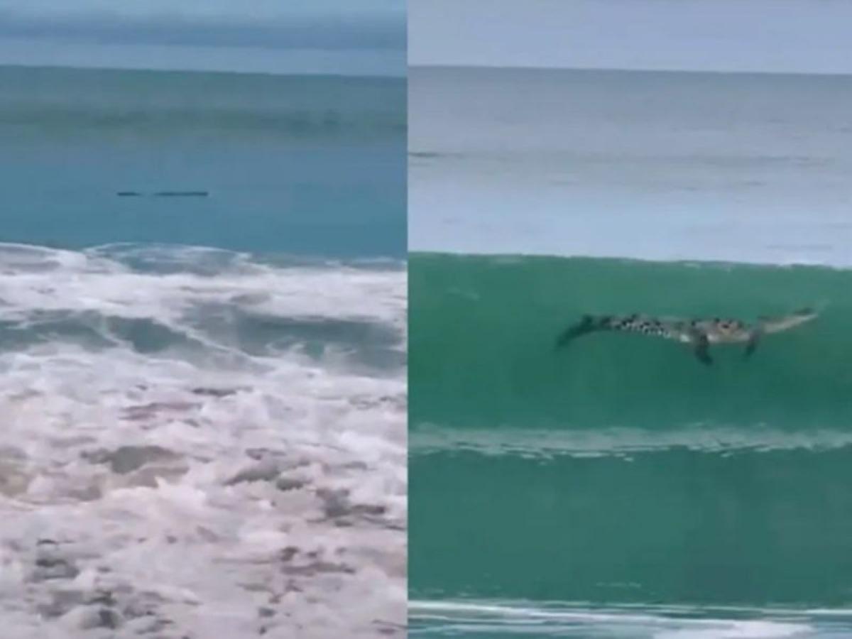 Familia confunde cocodrilo con tronco a la orilla de la playa en Mazatlán