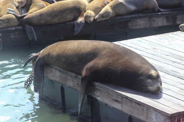 Ушастые тюлени (sea lions)