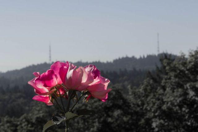 И живых роз в Портленде тоже придостаточно