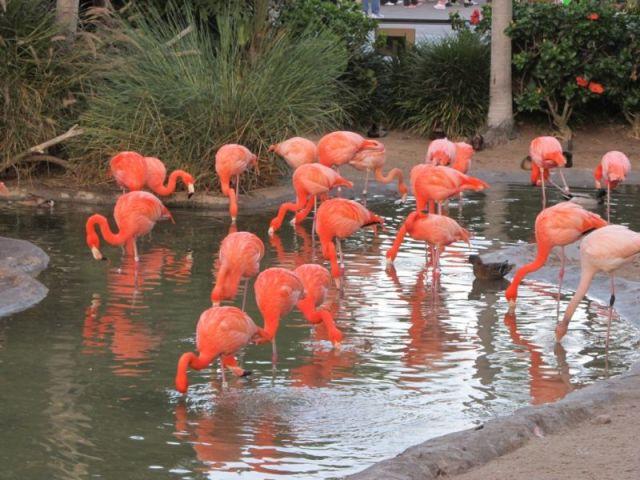 Оранжевые и белые фламинго обитают в зоопарке Сан-Диего