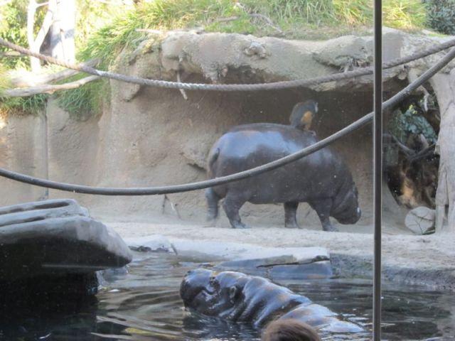 В зоопарке Сан-Диего разводят ездовых гиппопотамов