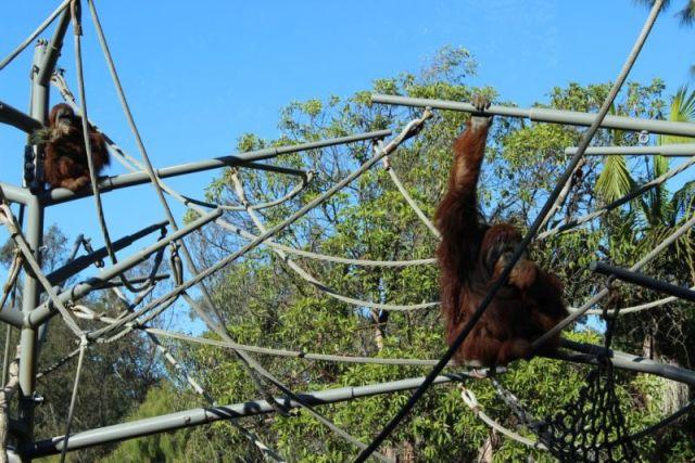 Обезьянья тропа зоопарка Сан-Диего. Орангутанги