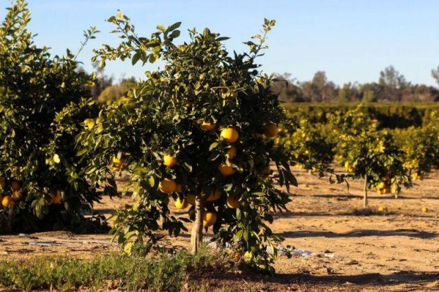 Апельсиновая роща в Temecula Valley