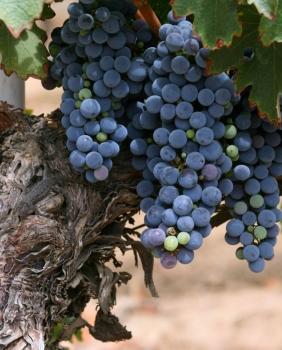 Темекула. Гроздь винограда