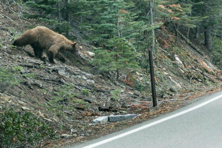 Йосемити парк. Медведица