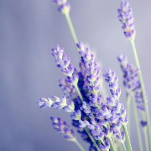 Lavender can be very helpful when it comes to falling asleep!