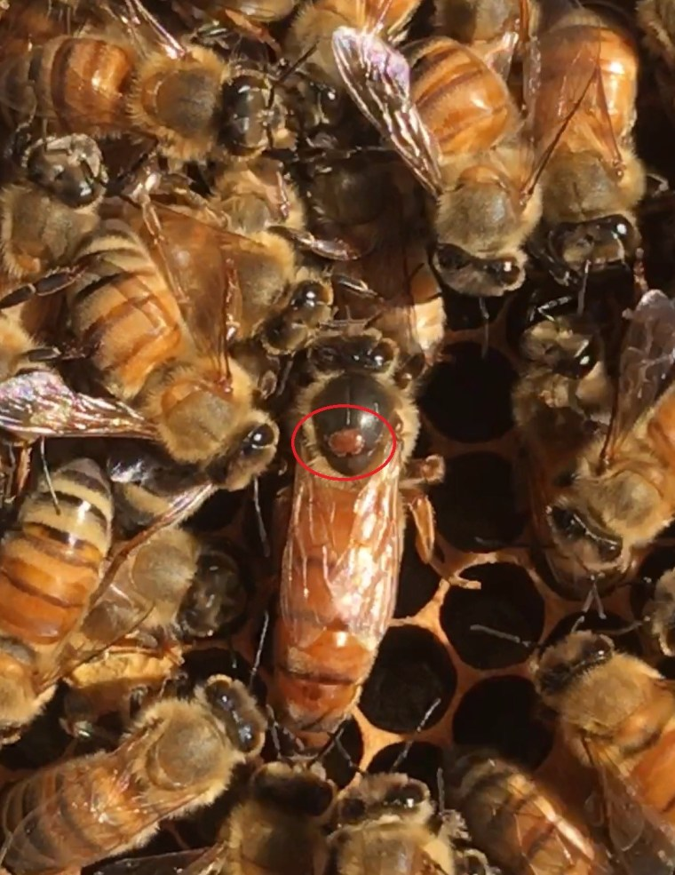 Queen with Varroa Mite