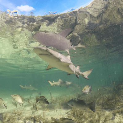 @aaines The perfect reflection aaines. . . . . #mydukeyear #dukeenvironment #ocean #shark #sharkresearch #lemonshark #bimini #bahamas #mangrove #beautiful #wildlife #gopro #travel #adventure #caribbean #crystalclear #nature #photography #underwater #snorkel #springbreak #bestday #telesin #dome #halfandhalf #reflection  https://www.instagram.com/aaines/