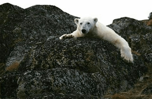 @prabhatmisra #Feb27 was #InternationalDayForPolarBears. Without action on #ClimateChange we could lose wild #PolarBears by #2100. http://polarbearsinternational.org/  Source:@unbiodiversity