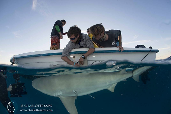 @charlottesamsphotography Pre tagging a Bull Shark. The @biminisharklab team swiftly work together to measure this shark, take DNA and isotope samples, and then tag it with a number of identification tags that can be used to provide further data into movement and behavioural patterns. Check out the Sharklab page for more updates on the daily fieldwork!