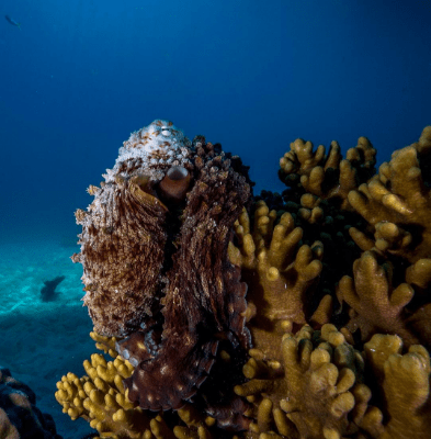 @tomsunderwaterphotography Octopus hanging at the top of his coral spire 🐙#scuba #underwater #amazing #nature #wildlife #awesome #beautiful #ocean #animal #fish #instagood #picoftheday #sunrise #instadaily #adventure #explore #outdoors #igers #padi #uwphotography #uw #divermag #discoverqueensland