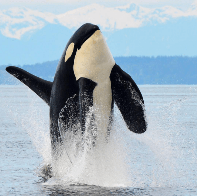 "@gary_j27 Well this is how the best shot I ever got started! J27 ""Blackberry"" shooting out of the water unexpectedly right in the frame of my camera. Right place, right time. Still so stoked about this sequence. #killerwhale #oceanecoventures #orca #oh_canada #whale #whalewatching #wildlifephotography #nikon #nikontop #nofishnoblackfish #beautiful #bc #bcferries #beautifulbritishcolumbia #blackfish #blackfisheffect #explorebc #emptythetanks #endangered #pacificnorthwest #pnw #hellobc #fightforSRKW #vancouverisland #canada @cangeo @natgeo"