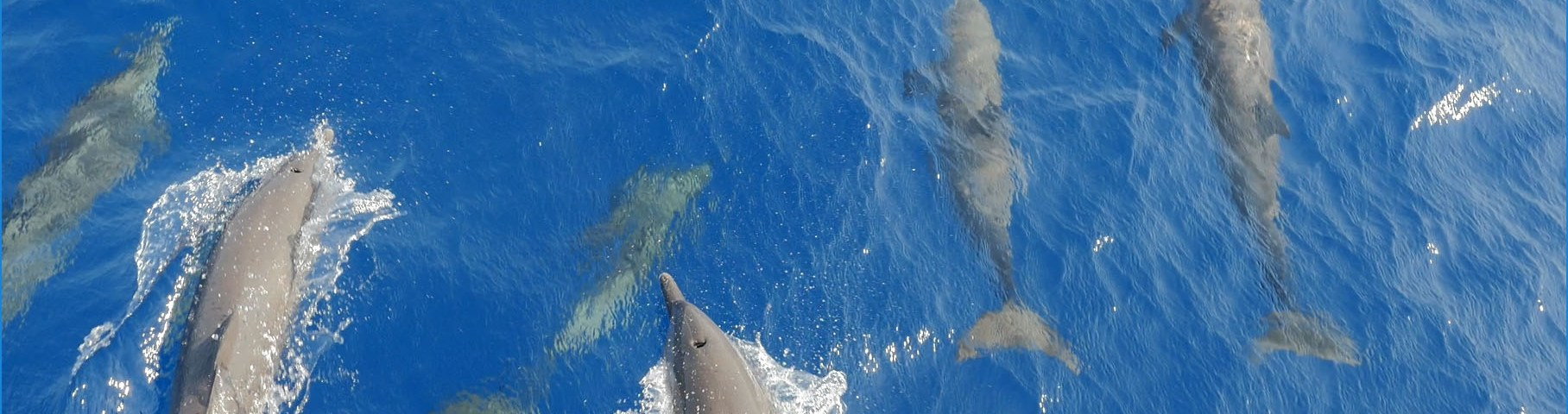 Dolphins swimming in the wake of a boat. Hello Ocean conducts first expedition exploring pressing ocean conservation topics of the Mesoamerican Reef.