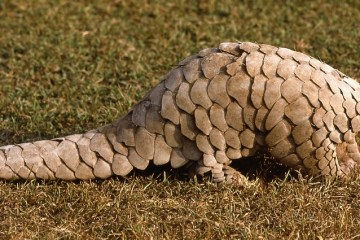 Indian pangolin (thick-tailed pangolin): Manis crassicaudata