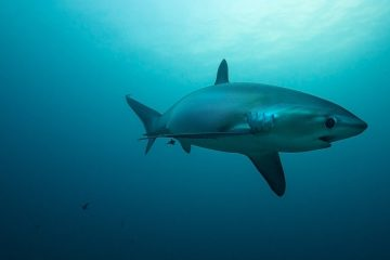 thresher shark, Malapascua Cebu, the Philippines,by Dennis Bryan Baitit