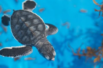 cute baby sea turtle at the loggerhead marinelife center