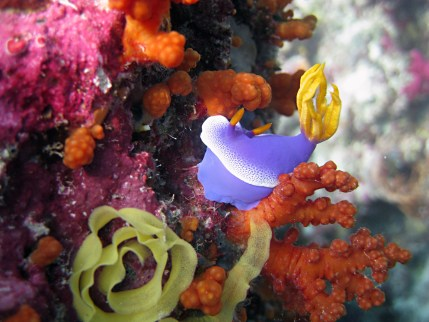 coral reef in indonesia with a nudi branch
