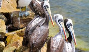 Peruvian pelicans (Pelecanus thagus), La Serena, Chile © Carl Gustaf Lundin