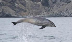 Common bottlenose dolphin (Tursiops truncatus), La Serena, Chile