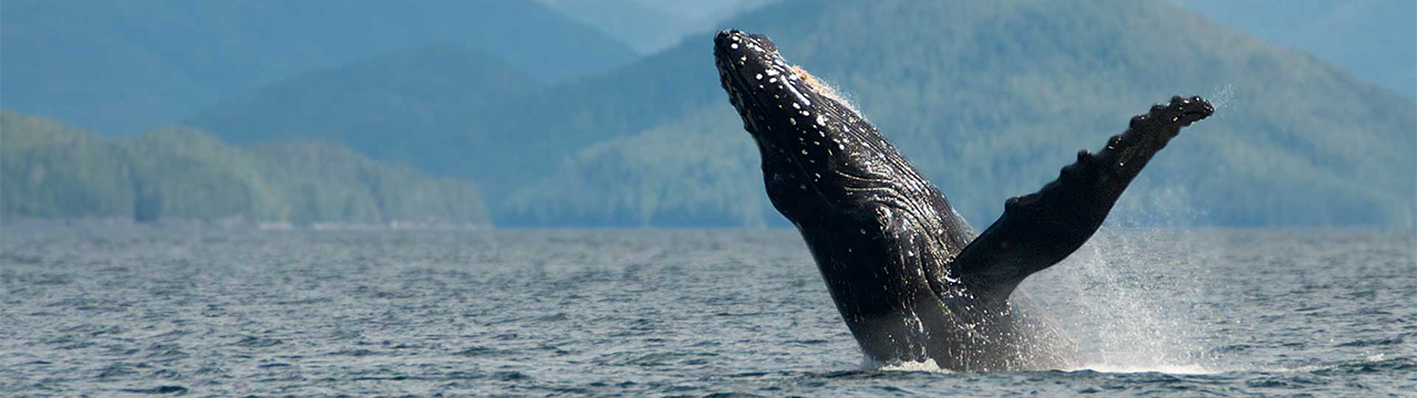 whale breaching in british columbia
