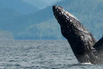 whale breaching in british columbia