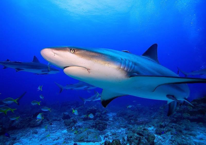 Caribbean Reef Shark by Manu Bustelo for SEVENSEAS Media