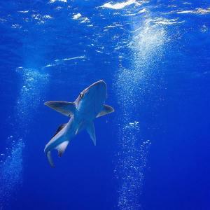 Sharksucker (Echeneis naucrates) by Manu Bustelo for SEVENSEAS Media