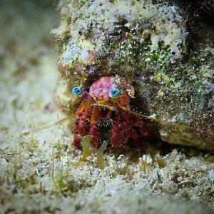 Stareye Hermit Crab by Manu Bustelo for SEVENSEAS Media