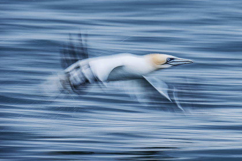 Sam Hobson - Northern Gannet