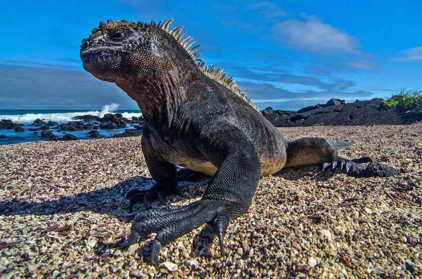 Tomas Kotouc - Galapagos Marine Iguana