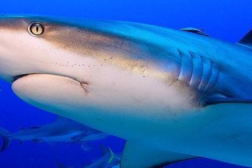 beautiful reef shark