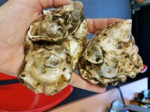 farmed oyster