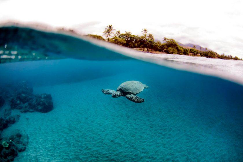 sea turtle swimming in maui by Maui Jeff Beige