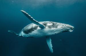 humpback whale by karim iliya