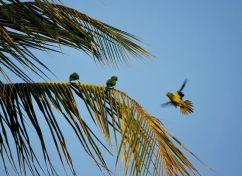 Parakeets, Los Llanos