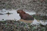 Capybara, Los Llanos